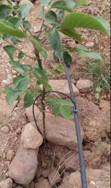 霈泽果树滴灌小管出流施工