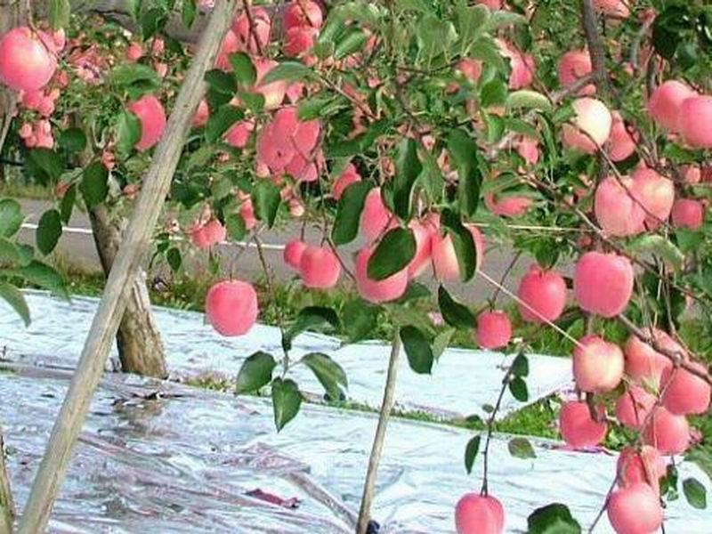 苹果的剪法步骤图片